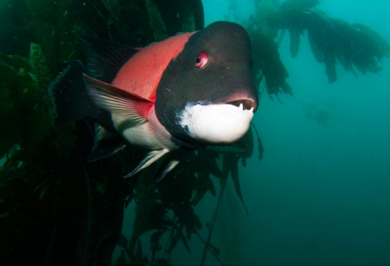 California sheephead
