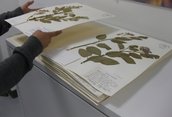 Closeup of herbarium sheets at UCSB Cheadle Center for Biodiversity & Ecological Restoration