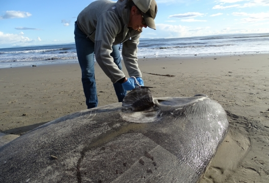 COPR staffer Jessica Nielsen with the hoodwinker sunfish on Sands Beach