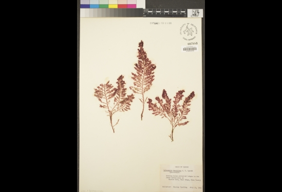 A frilly, red algae specimen mounted to a card