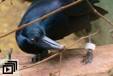 New Caledonian crows show strong evidence of social learning