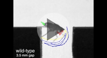 The wild-type fruit fly traverses a gap successfully while impaired fine motor control impedes a TRPy mutant