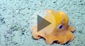 Even scientists are not immune to the cuteness of a dumbo octopus