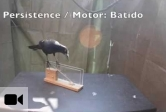 Great-tailed grackle test