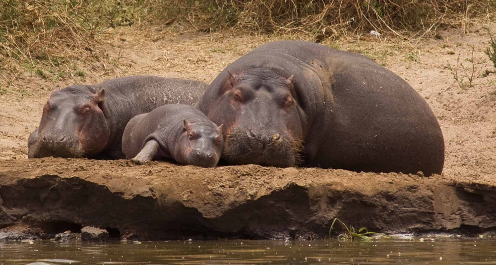 download image - Pictures Of Hippos