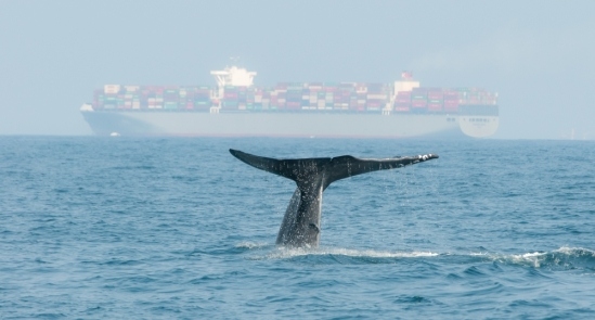 Blue Whale Near A Cargo Ship