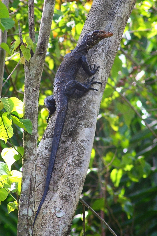 New Monitor Lizard Discovered in Indonesia | The UCSB Current