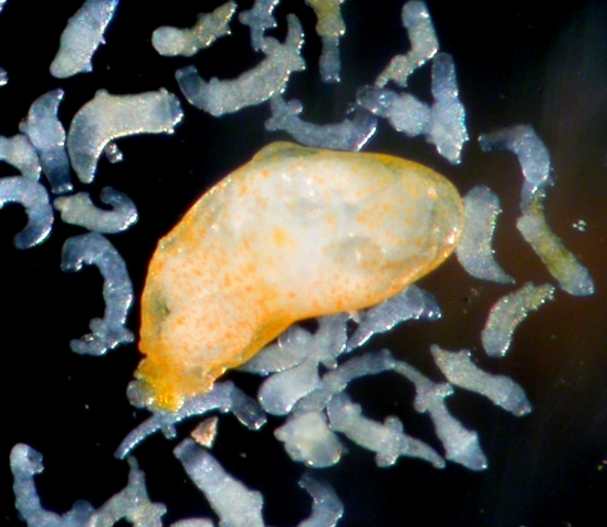 Large reproductive trematode flatworm   surrounded by soldiers from its colony.