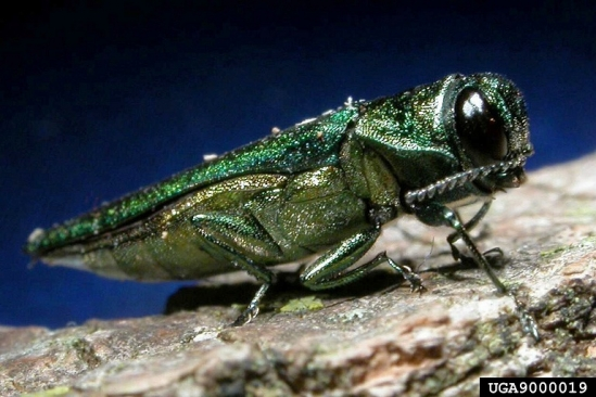emerald ash borer credit:David Cappaert, Michigan State University