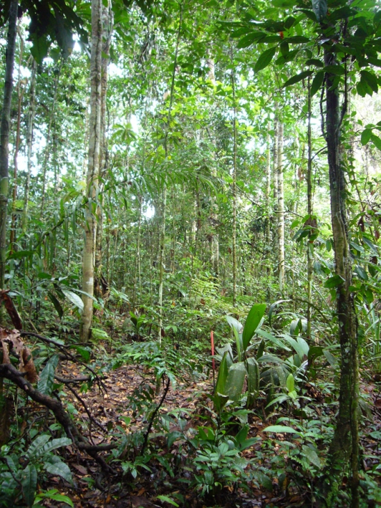 Interior of a high-diversity lowland rainforest in Yasuni National Park, Ecuador.