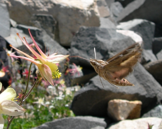 Hawkmoth pollinator visiting an Aquilegia flower