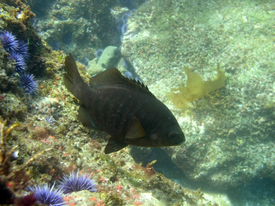 Black surfperch (Embiotoca jacksoni)