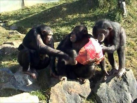 Two female chimpanzees   take food from a male (center).