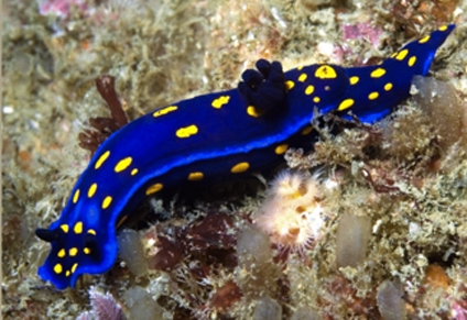 The Felimare californiensis, a sea slug with the University of California colors, at Catalina Island