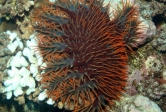 Crown-of-thorns sea star feeding on a coral. Photo