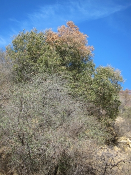 Stressed shrubs and dying oak