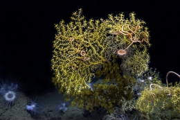 Coral and sea stars from ROV Hercules