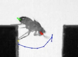 Fruit fly crosses a 3.5-mm gap