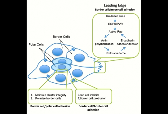 multiple roles of E-cadherin