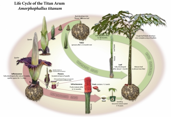 Titan Arum lifecycle