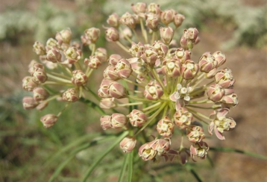 photo of Asclepias fascicularis