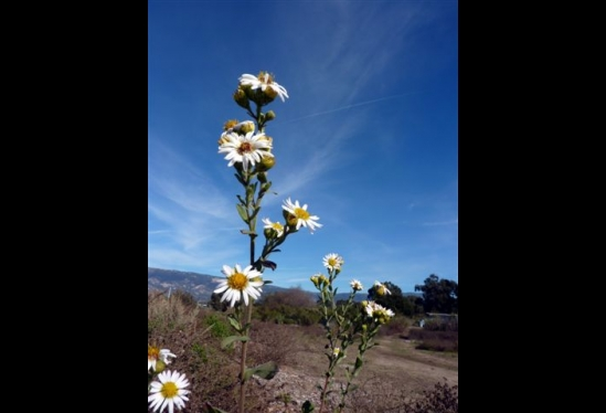 photo of Aster chilensis