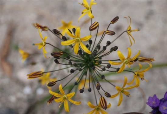 photo of Bloomeria crocea