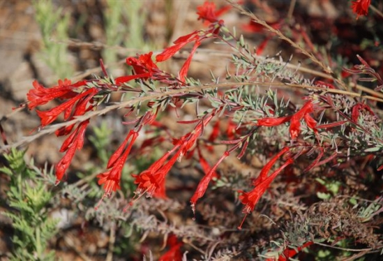 photo of Epilobium canum