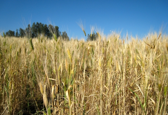 Ethiopian wheat field