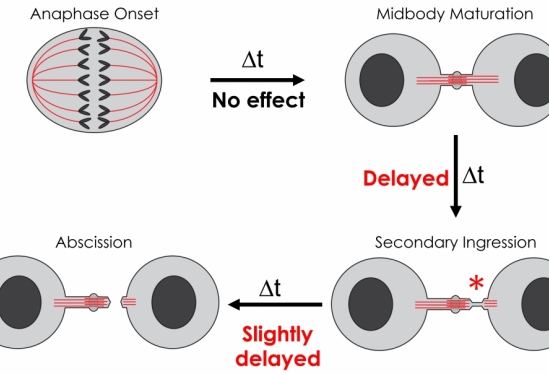 Delayed cell division
