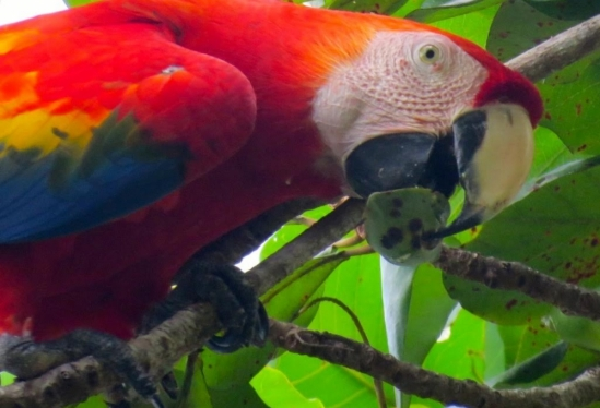Wild macaw eating fruits by the beach