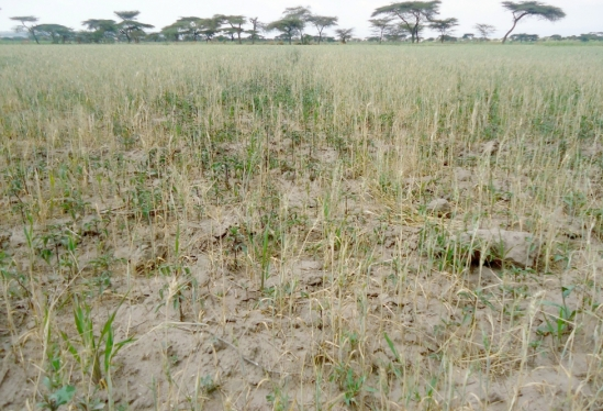 Wilted wheat in East Africa