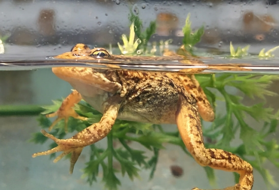 Healthy mountain yellow-legged frog at Oakland Zoo