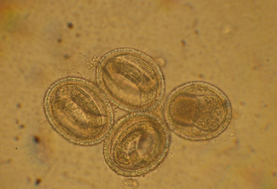 raccoon roundworm eggs