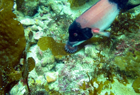 sheephead eating an urchin