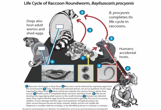 raccoon roundworm lifecycle