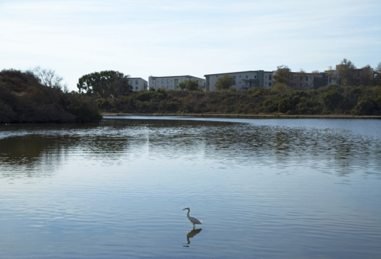 UCSB lagoon with egret and residence halls beyond Dec. 18, 2017
