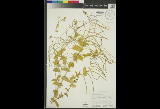 A digitized herbarium sheet from UCSB's Cheadle Center for Biodiversity & Ecological Restoration