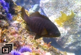 Black surfperch