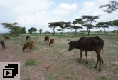 Livestock in East Africa