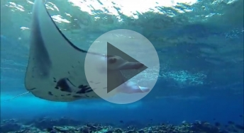 Manta Ray in Palmyra Atoll/video shot by Gareth Williams